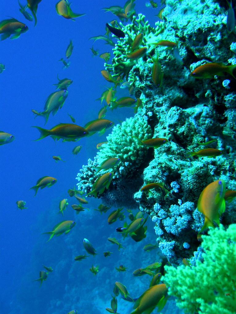 Arrecife de coral. Aqaba (Jordania)