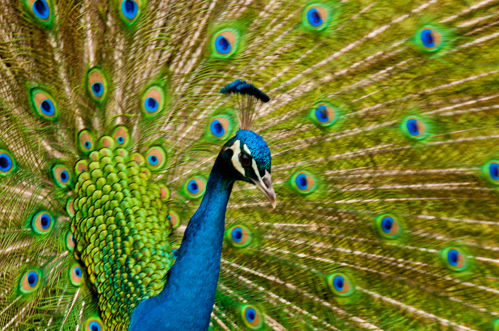Peacock at the Museo Dolores Olmedo Patino