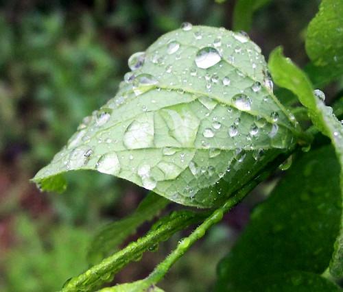 rain n leaves curled 2