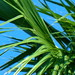 close up of palm leaves.