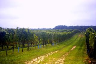 vineyard rain