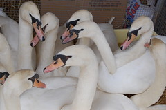 a gaggle of swans