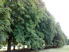 Line of Horse Chestnut trees