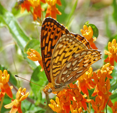 Atlantis fritillary. Flickr photo by Jerry Oldenettel. Click for original.