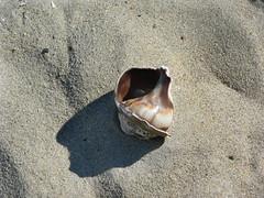 Seashell by the seashore