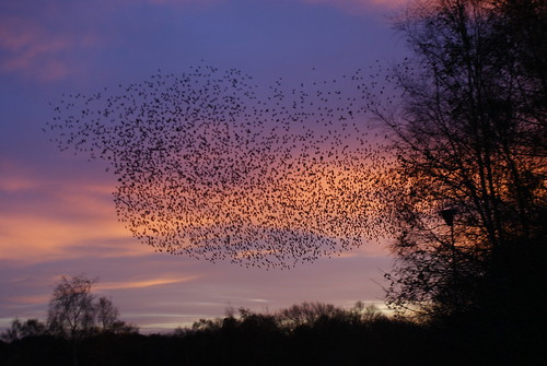 Starlings at Dusk, Herefordshire