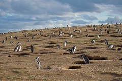 Penguins and burrows