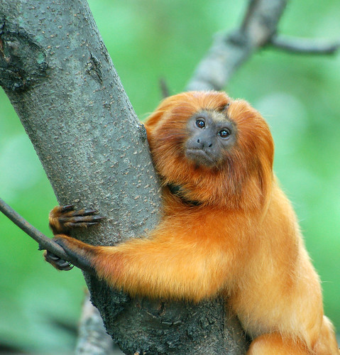 a Golden Lion Tamarin holding tightly to a tree trunk