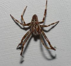 Male garden spider?