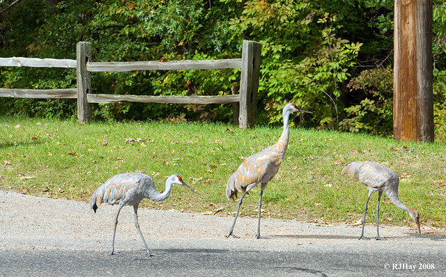 Taking the young crane out for a walk on a human trail.