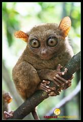 Tarsier - Bohol, Philippines (smallest monkey in the world)