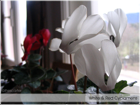 White & red cyclamens