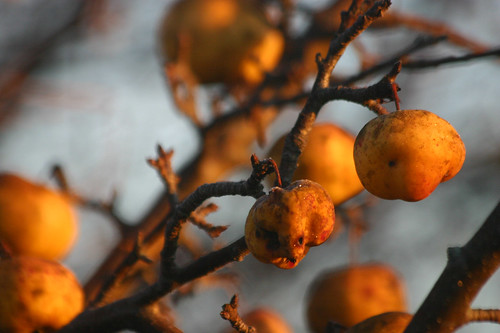 wild apples at dawn, november