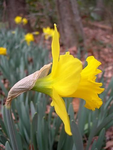 first daffodils.