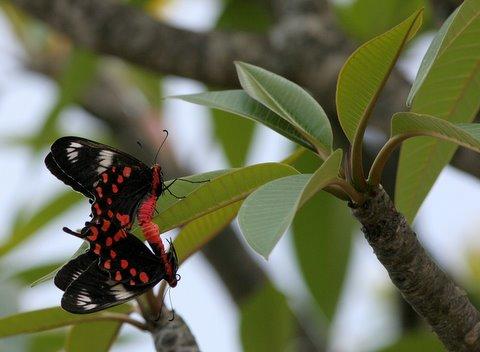 sixty-nine...crimson rose bfly mating devarayanadurga 050408