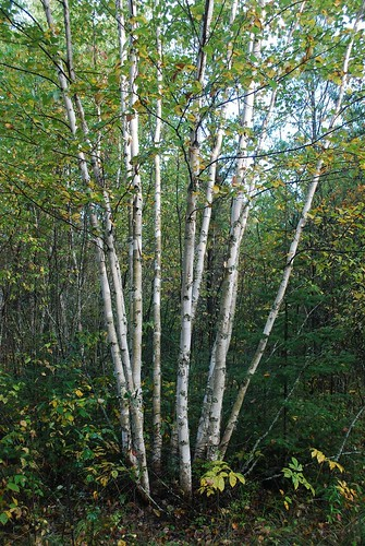 Most hardwood species reproduce via stump sprouts in addition to seed.  This paper birch clearly originated by stump sprouting after the parent tree died.  Some landowners choose to select the biggest and best sprouts from trees like this and remove others to reduce competition.