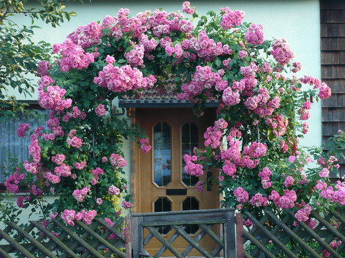 Vorgarten: Gartentor voller prächtiger Rosen