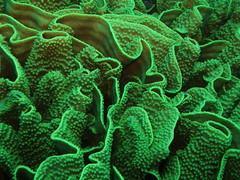 Coral ondulante (Turbinaria cf. mesenterina)
