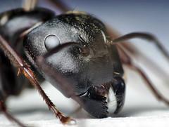 Head of a Black Carpenter Ant (Camponotus penn...