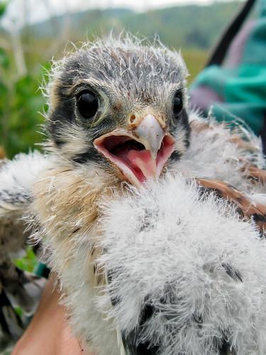 Baby Kestrel