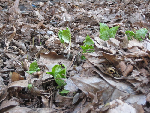 Wild ginger emerging (by RPOPtream)