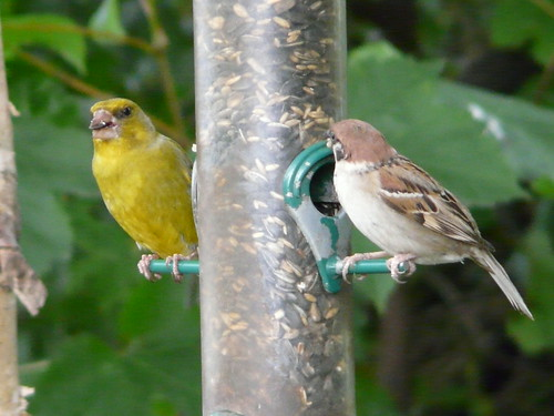 Greenfinch and Tree Sparrow