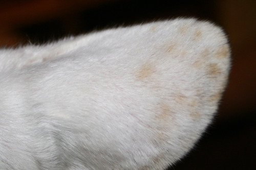 Bunny's Ear Polka Dots