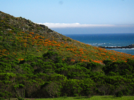 hillside covered with california poppies