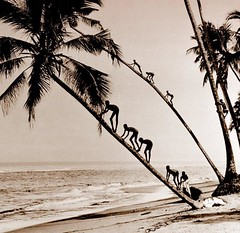 COCONUT CLIMBING KIDS of OLD CEYLON