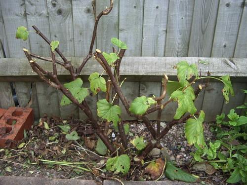 blackcurrants pruned