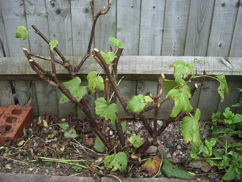 blackcurrants pruned