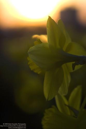 Daffodil Looks Towards the Sun