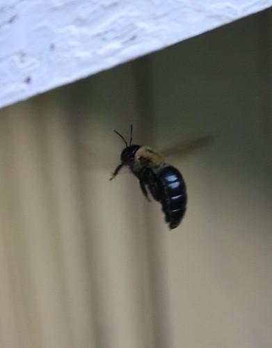 Carpenter Bee female