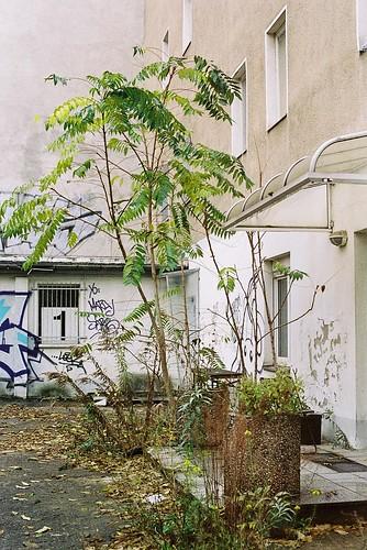 Linienstraße Alianthus 1