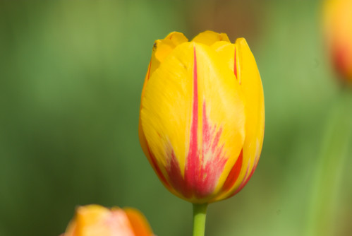 yellow-red tulip, Istanbul Tulip Festival, Pentax K10D