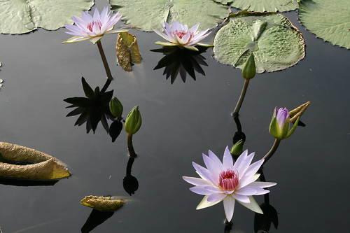 Lavender waterlily