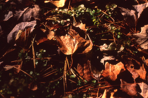 Fallen Leaves. (Kodak Ektachrome E100VS. Nikon F100. Epson V500.)