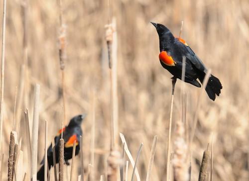 Redwinged Blackbirds
