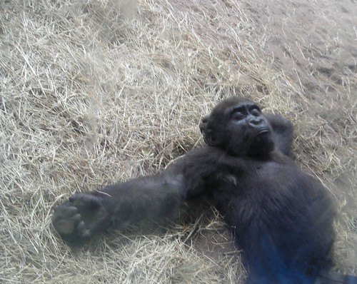 Two year old gorilla relaxing