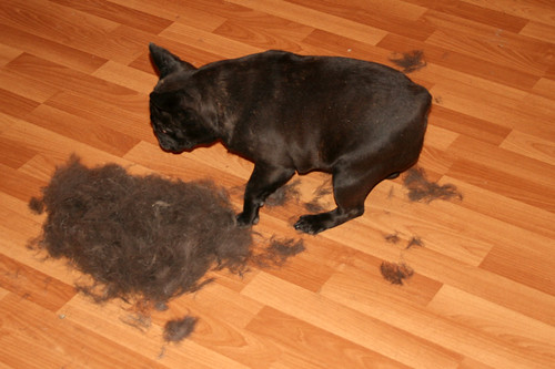 Yes, French Bulldogs shed. A LOT.