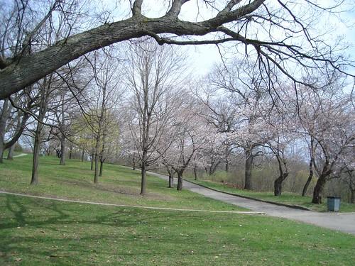 cherry blossoms 051
