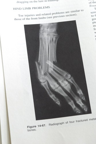 Radiograph of broken metatarsals from Care of the Racing Greyhound.