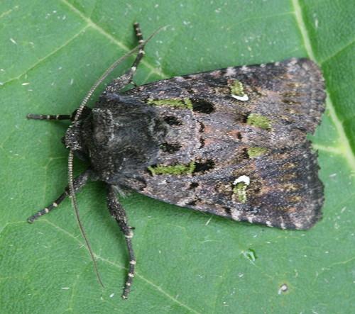 Bristly Cutworm - Hodges#10397 (Lacinipolia renigera)