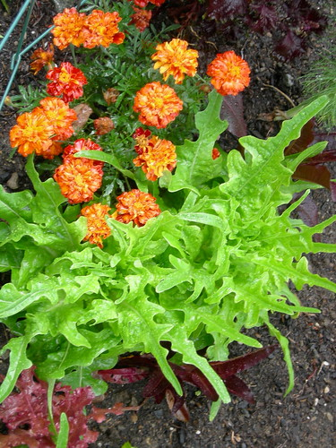 Green Oak Leaf Lettuce & Marigold