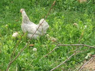 DSCF5990 gekregen kip