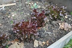 Red Salad Bowl Lettuce on 4-25