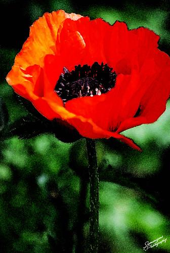 poppywatercolor