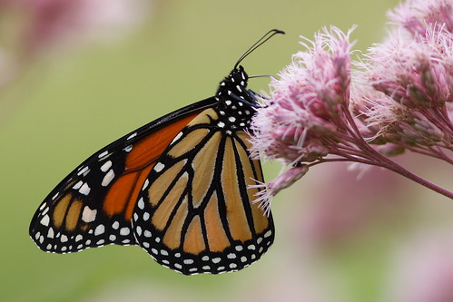 Monarch on Joe Pye Weed 300 mm lens
