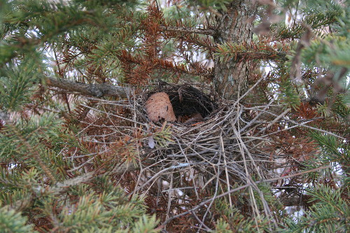 Bird's nest in Christmas tree
