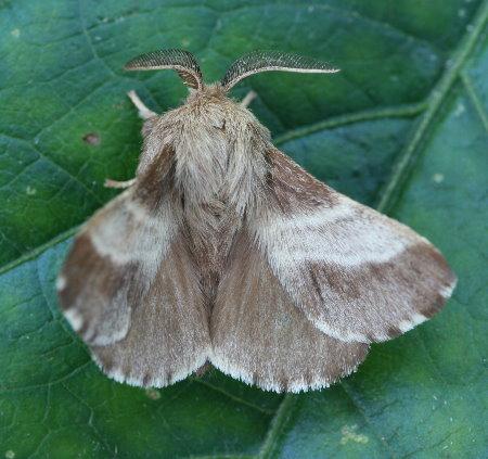 7701 - Malacosoma americanum - Eastern Tent Caterpillar Moth